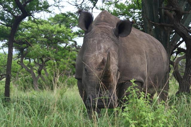 rhinoceros une espece protegee